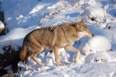 200 Jahre später im Nationalpark Harz wieder angesiedelt - Ole Anders