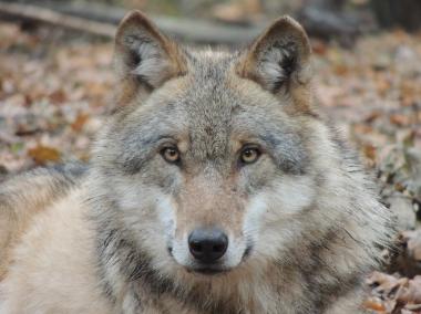 Auch der Wolf wird in denHarz zurückkommen - Thomas Schwerdt